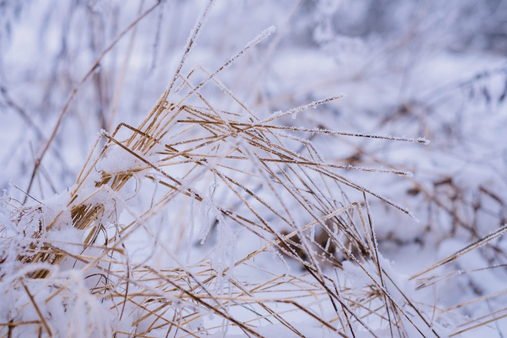 Frosted wildgrass - free stock photo