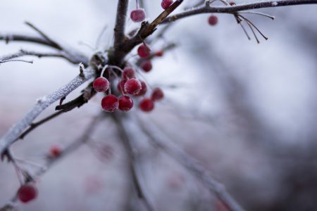 Holly berries 3 - free stock photo