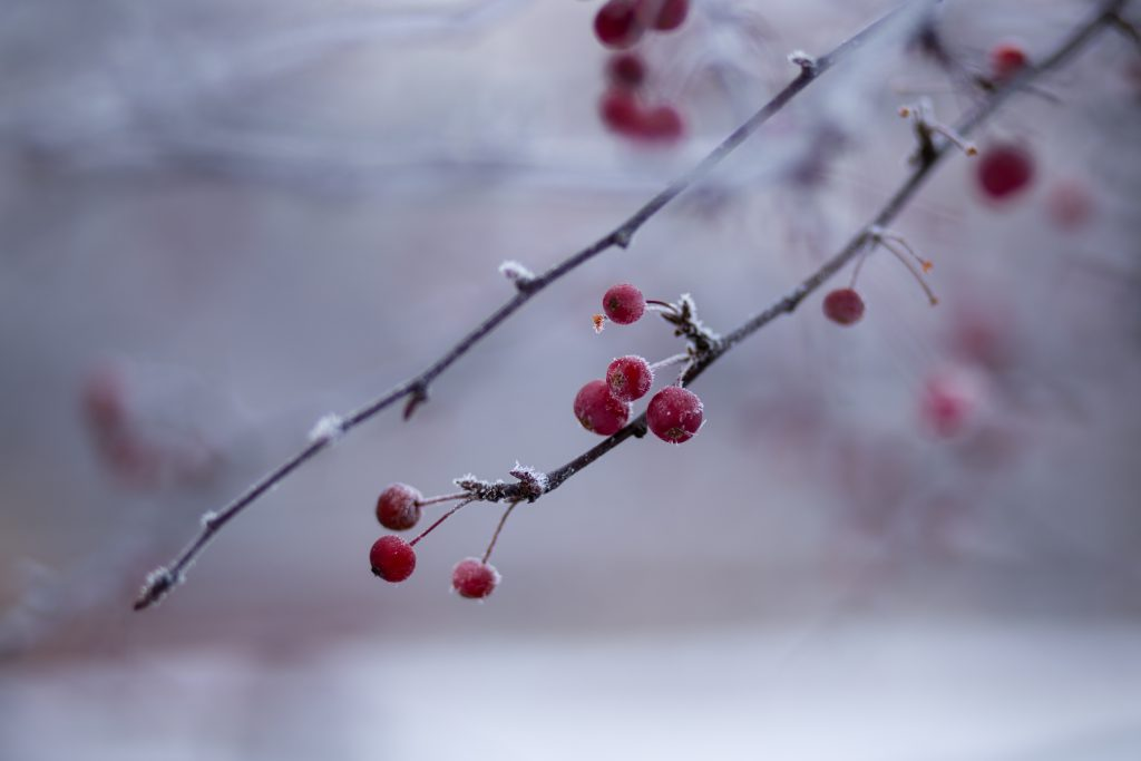 Holly berries 4 - free stock photo