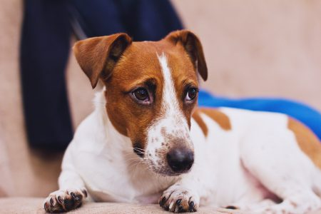 Jack Russell Terrier - free stock photo