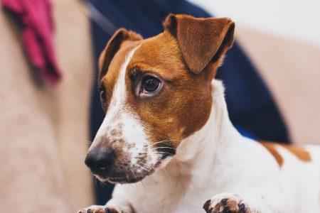 Jack Russell Terrier closeup