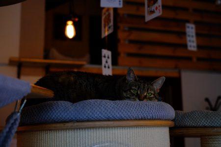 Lying cat - free stock photo