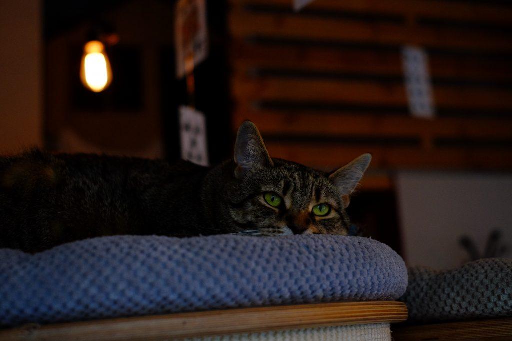 Lying cat 2 - free stock photo