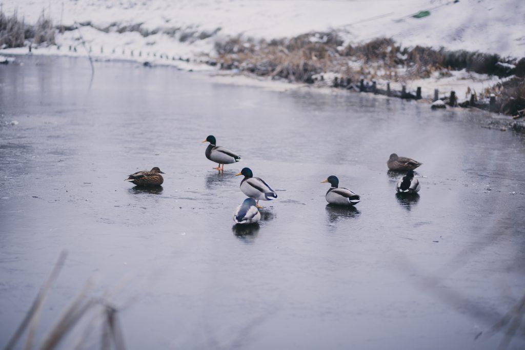 Wild ducks at a frozen pond - free stock photo