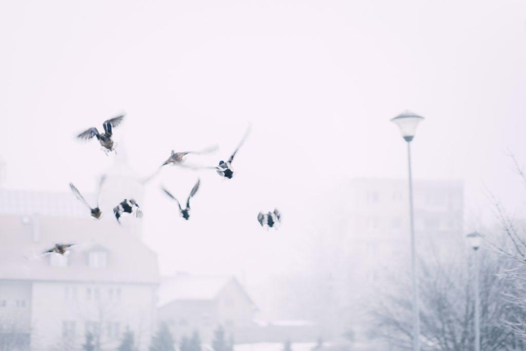 Wild ducks flying - free stock photo