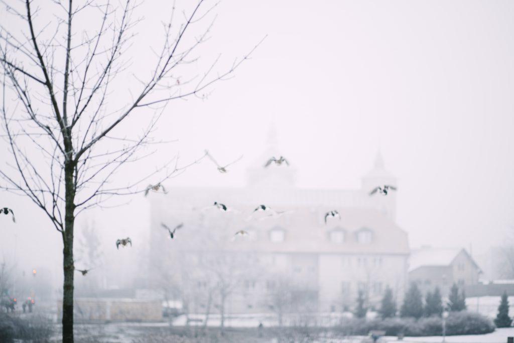 Wild ducks flying 2 - free stock photo