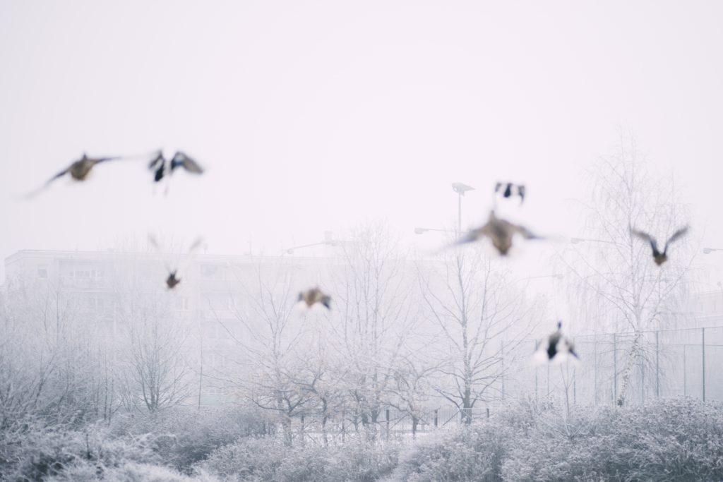 Wild ducks flying 3 - free stock photo