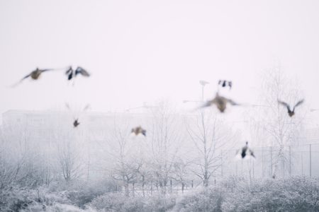 Wild ducks flying 3 - free stock photo