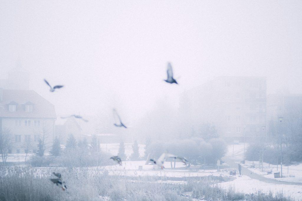 Wild ducks flying 4 - free stock photo