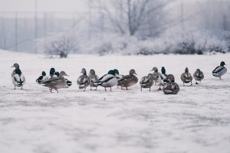 Wild ducks in winter - free stock photo