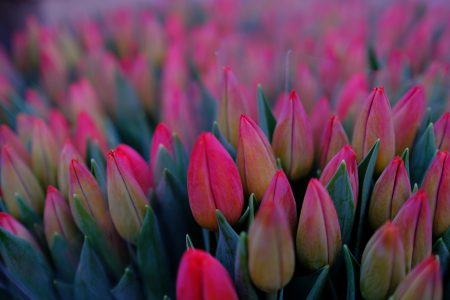 Red tulips - free stock photo