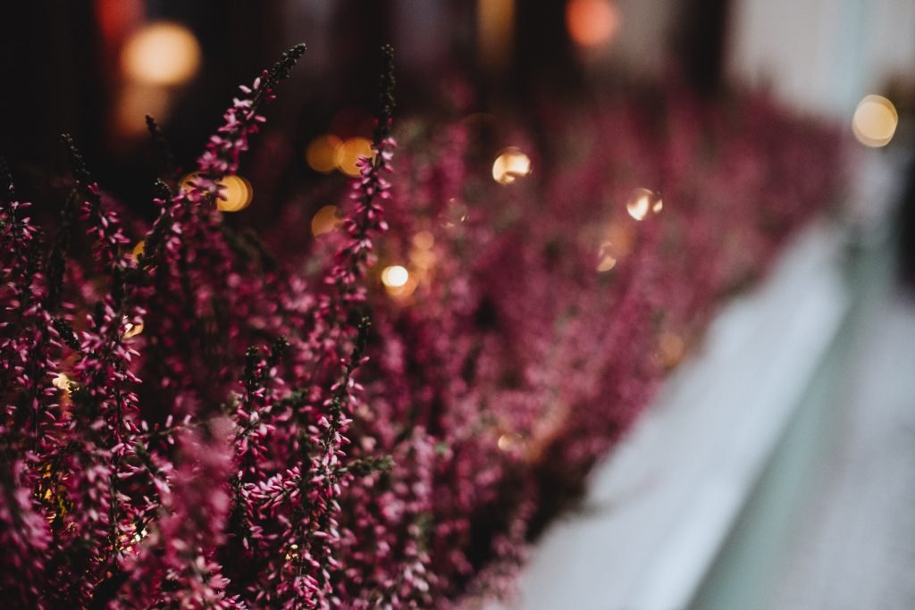 Heather on an outside window sill - free stock photo