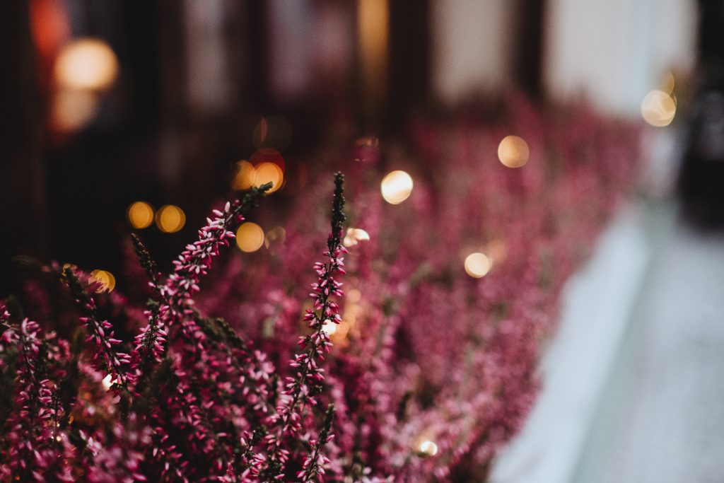 Heather on an outside window sill 2 - free stock photo