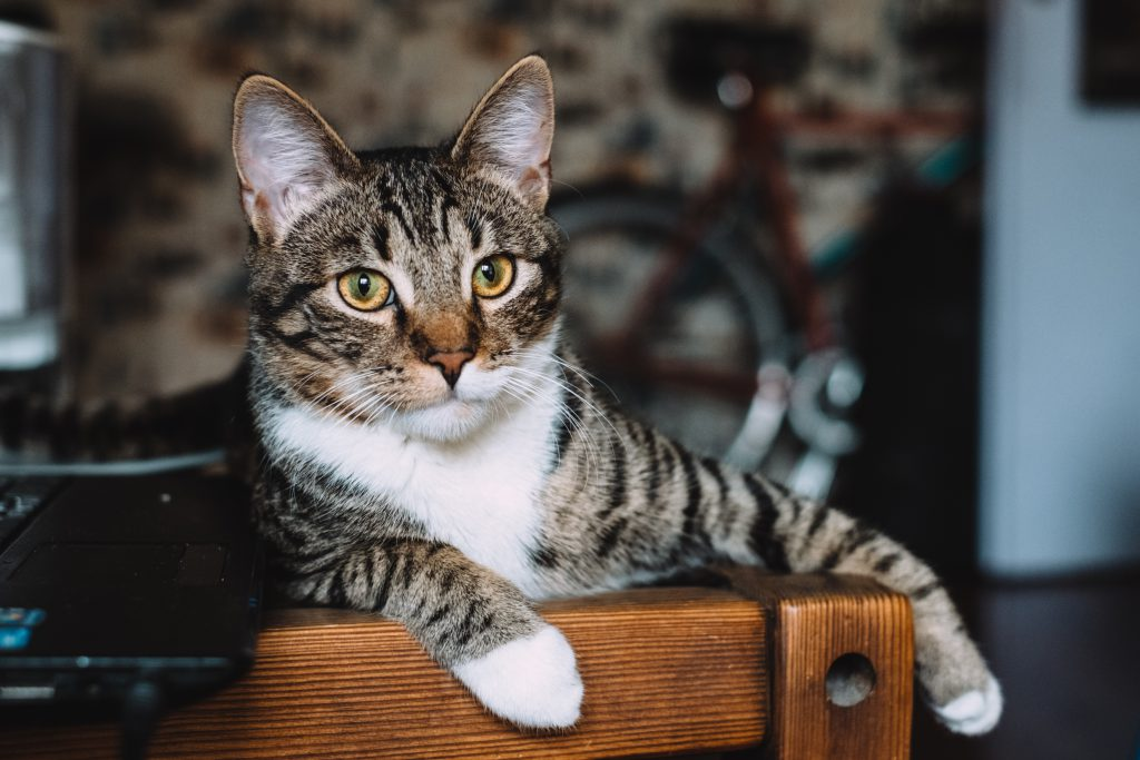 Cat sitting on a desk - free stock photo