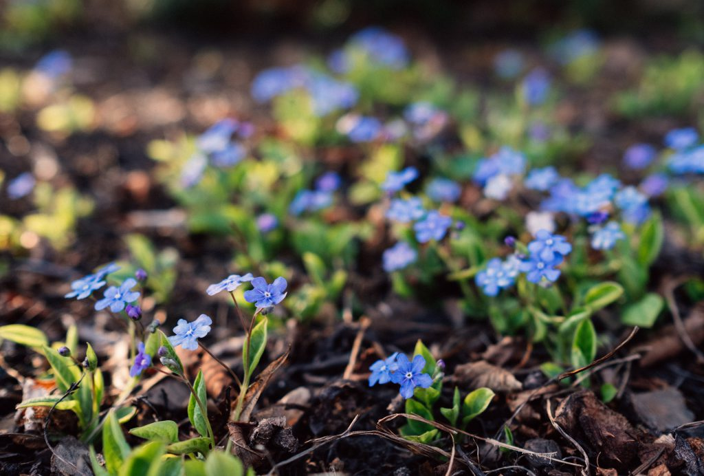 Forget me nots 2 - free stock photo