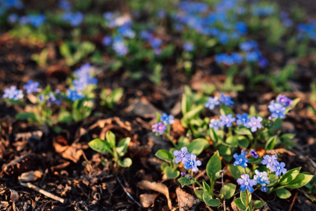 Forget me nots 3 - free stock photo