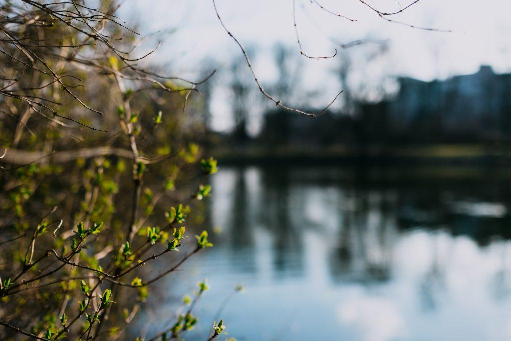 Spring bush at the lake - free stock photo