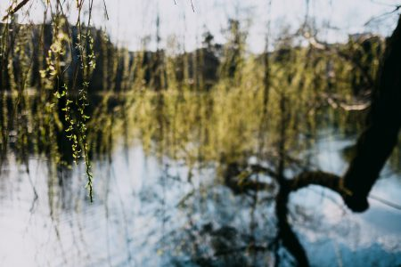 Spring willow at the lake - free stock photo