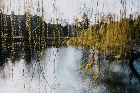 Spring willow by the lake - free stock photo
