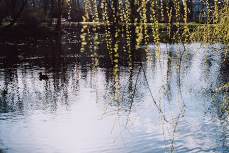 Spring willow twigs by the lake - free stock photo