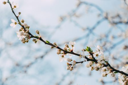 White tree blossom - free stock photo