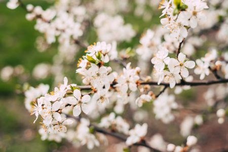 White tree blossom 2 - free stock photo