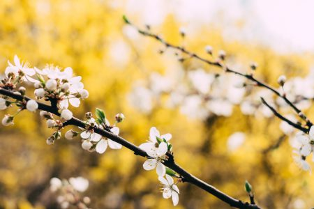 White tree blossom 3 - free stock photo