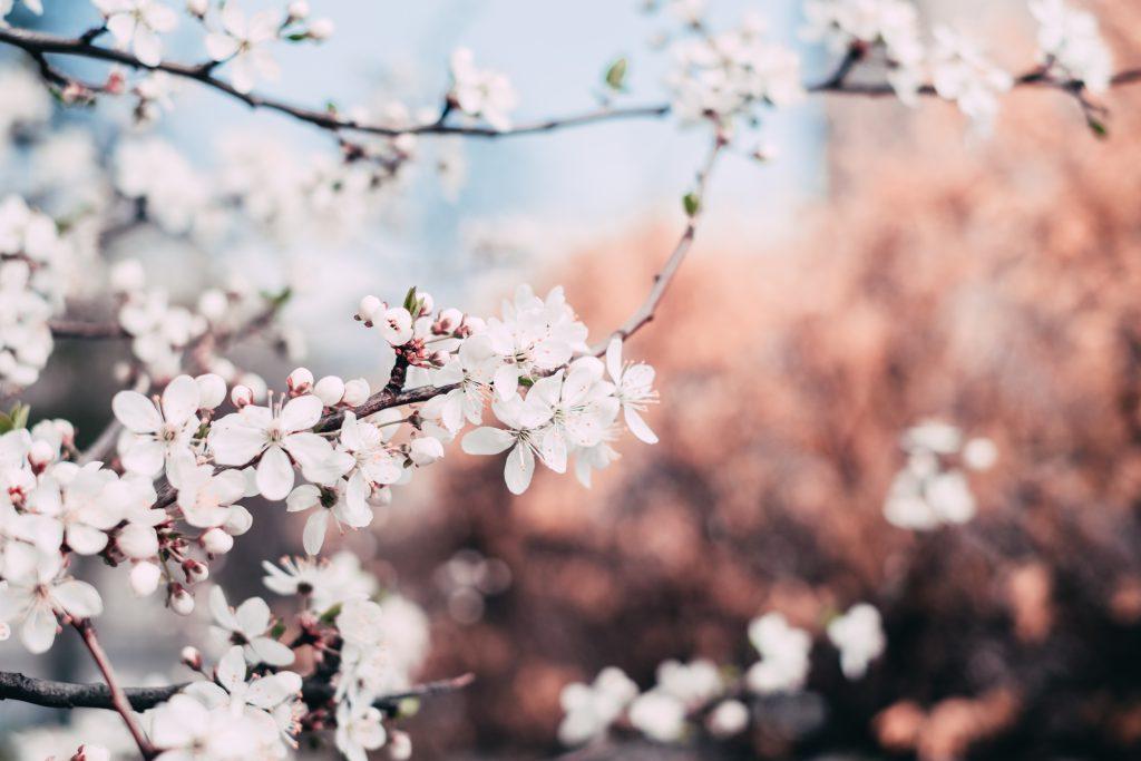 White tree blossom 4 - free stock photo