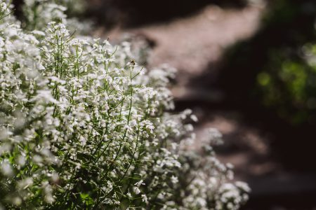 Baby's breath flowers - free stock photo