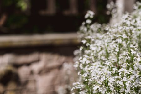 Baby's breath flowers 2 - free stock photo