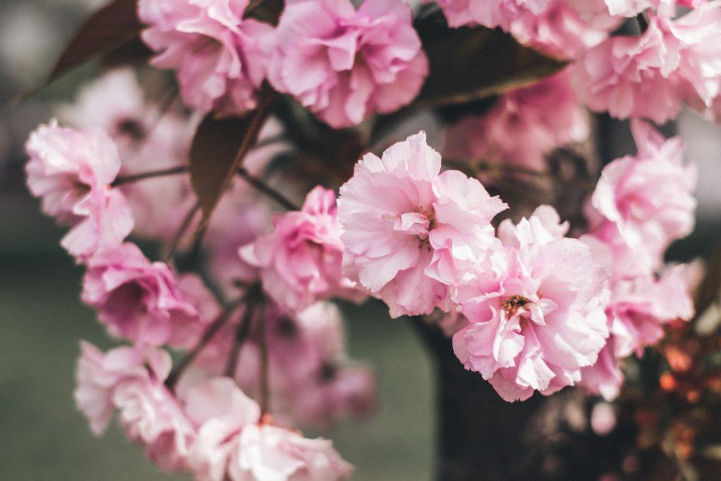 Cherry blossom - free stock photo