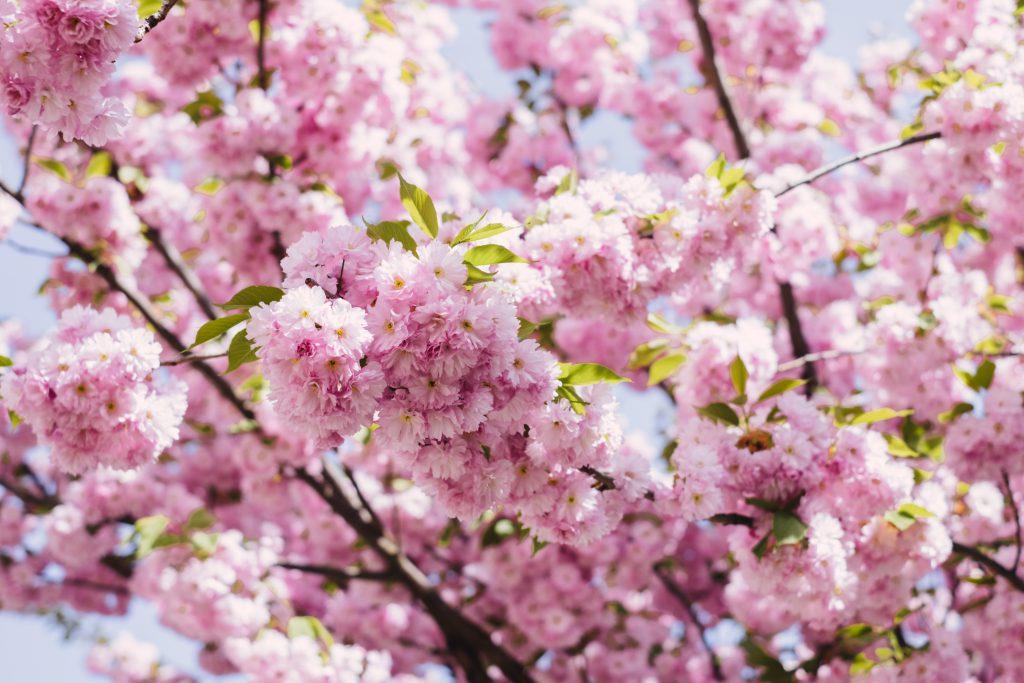 Cherry blossom tree - free stock photo