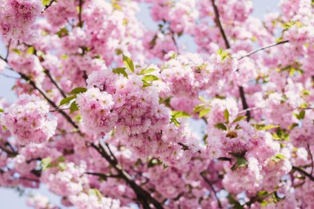 Cherry blossom tree - free stock photo