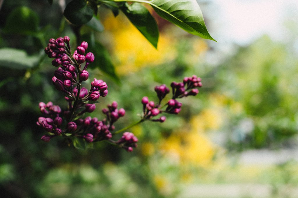 Closed lilac flowers - free stock photo