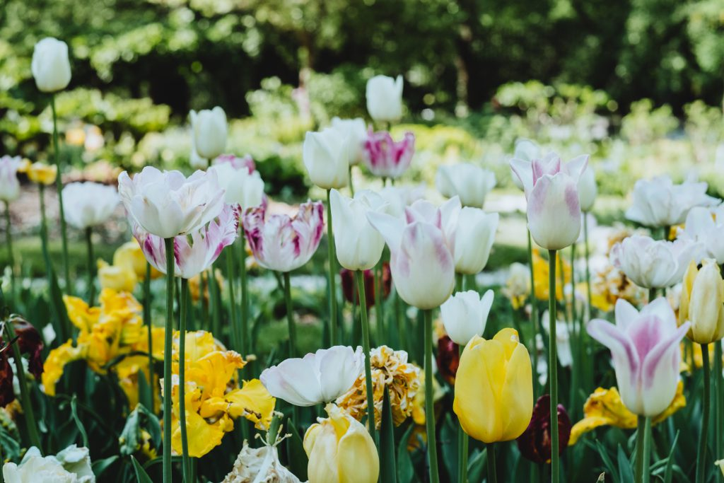 Colorful tulips - free stock photo