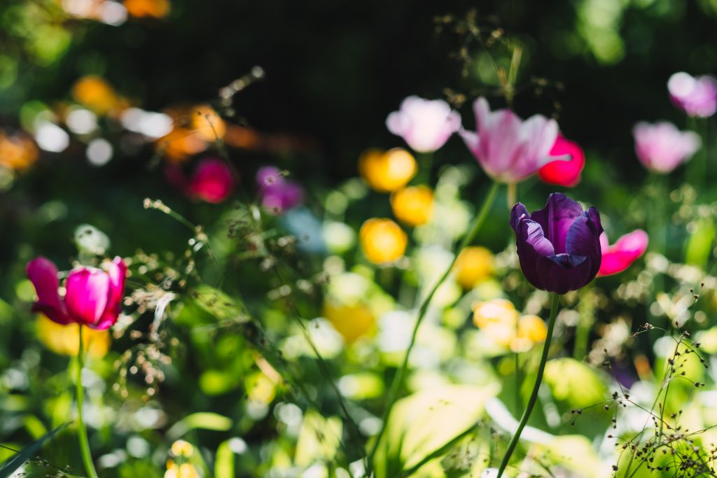 Colorful tulips 2 - free stock photo