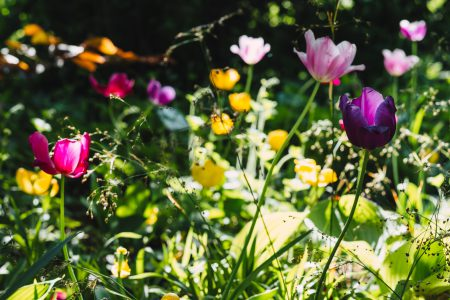 Colorful tulips 3 - free stock photo