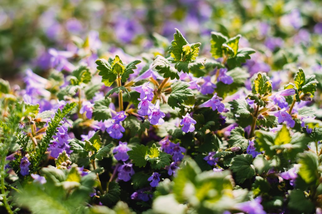 Common bugloss flowers - free stock photo