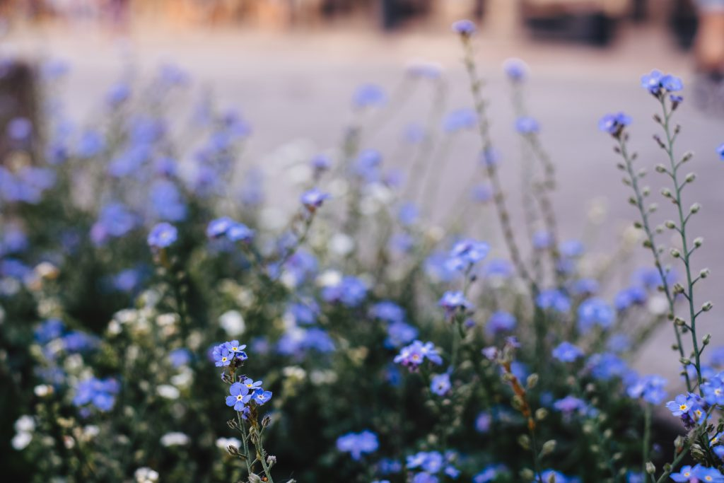 Forget-me-nots 4 - free stock photo