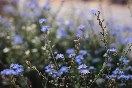 Forget-me-nots 5 - free stock photo
