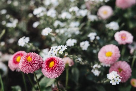 Pink daisies - free stock photo