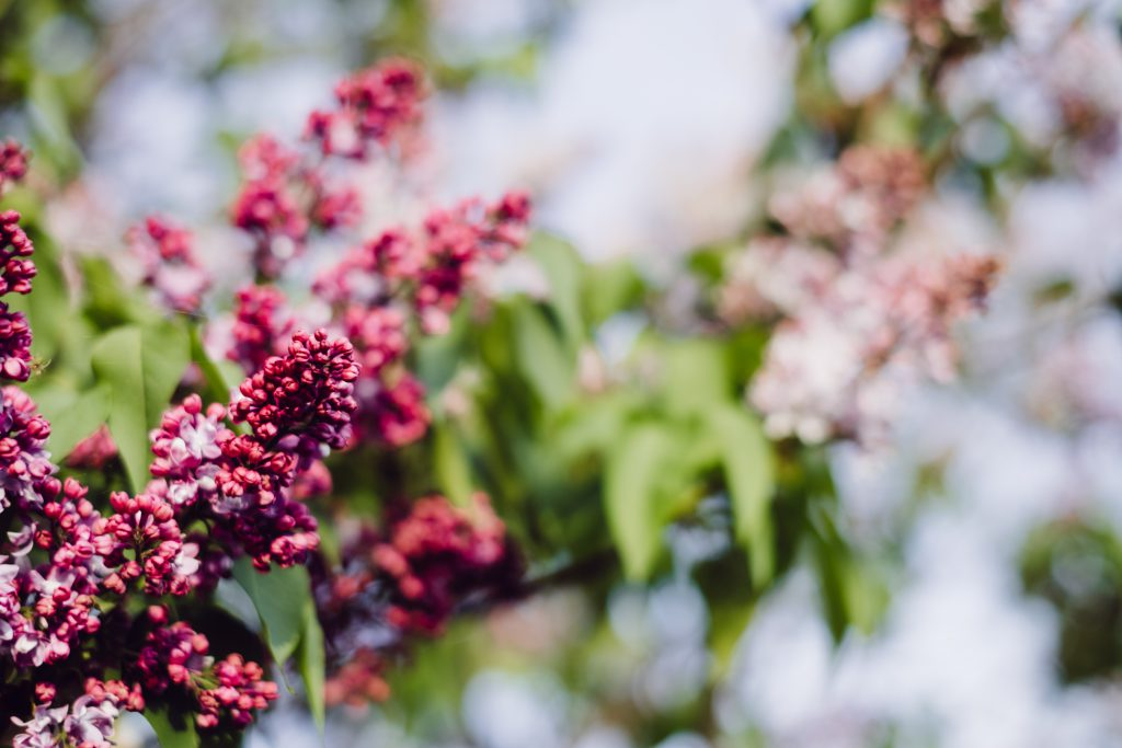 Pink lilac flowers 2 - free stock photo