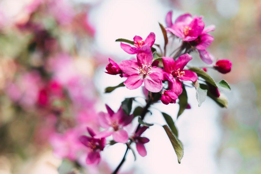 Pink tree blossom - free stock photo