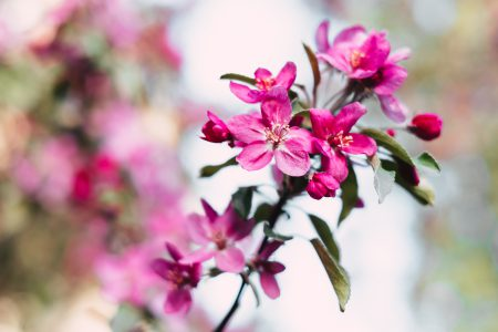 Pink tree blossom - free stock photo