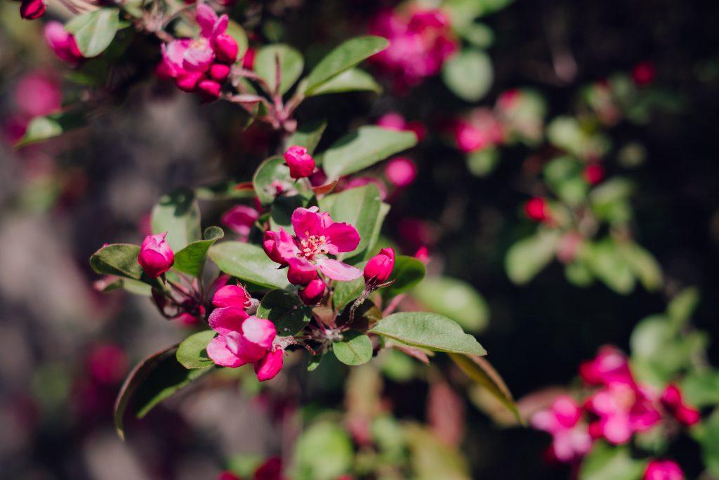 Pink tree blossom 2 - free stock photo