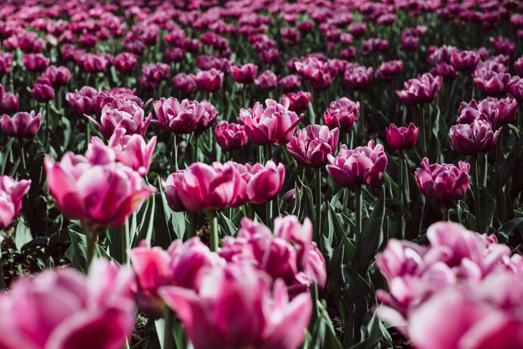Pink tulips - free stock photo