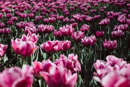Pink tulips - free stock photo