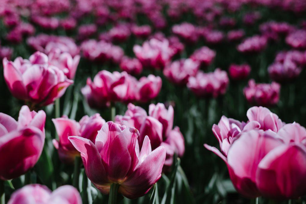 Pink tulips 2 - free stock photo