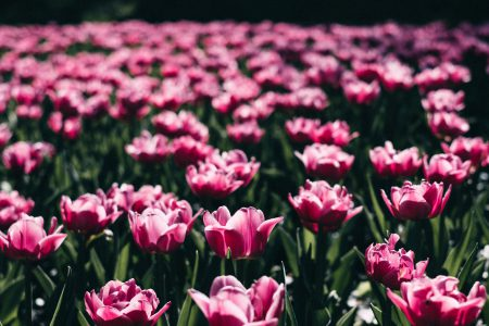 Pink tulips 3 - free stock photo