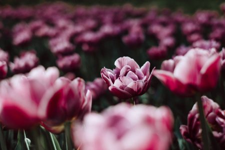 Pink tulips 4 - free stock photo